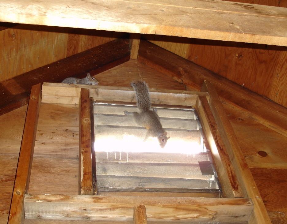 squirrels in the attic
