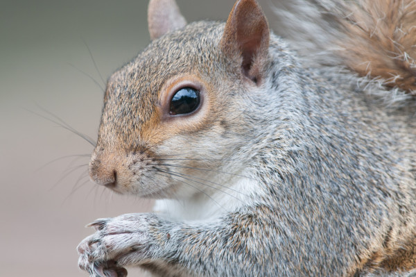squirrel image