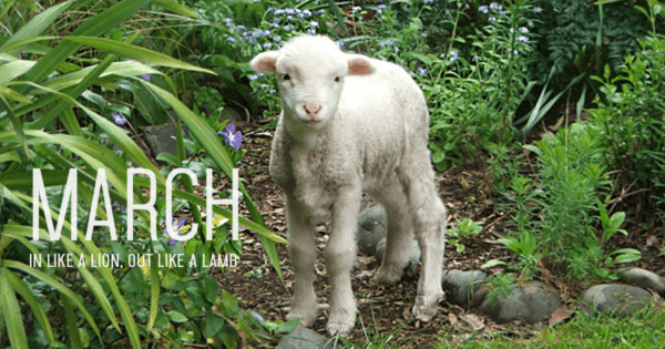 Picture of March Lamb