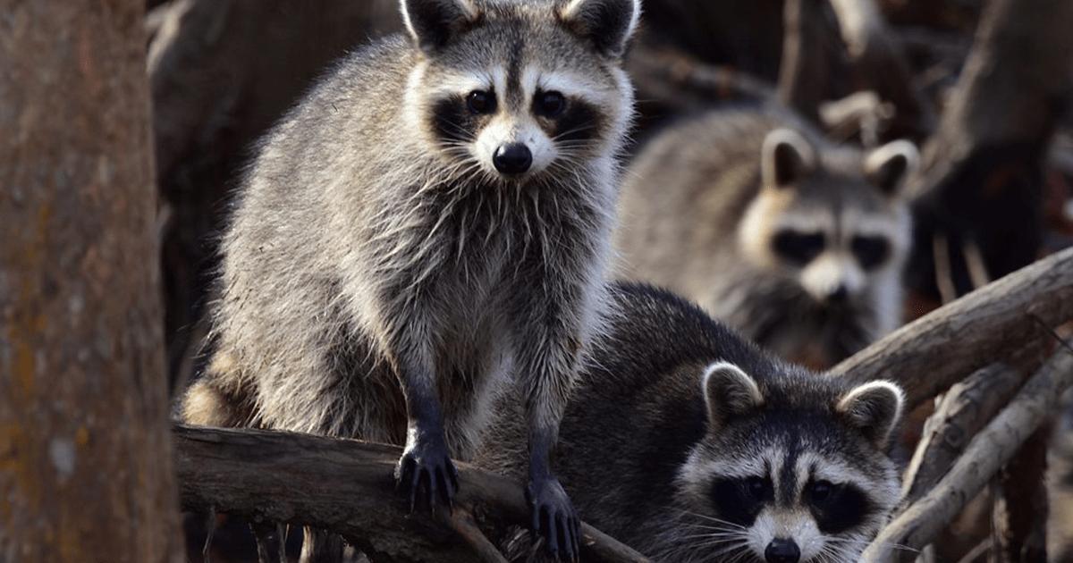 attic-infestation-raccoons